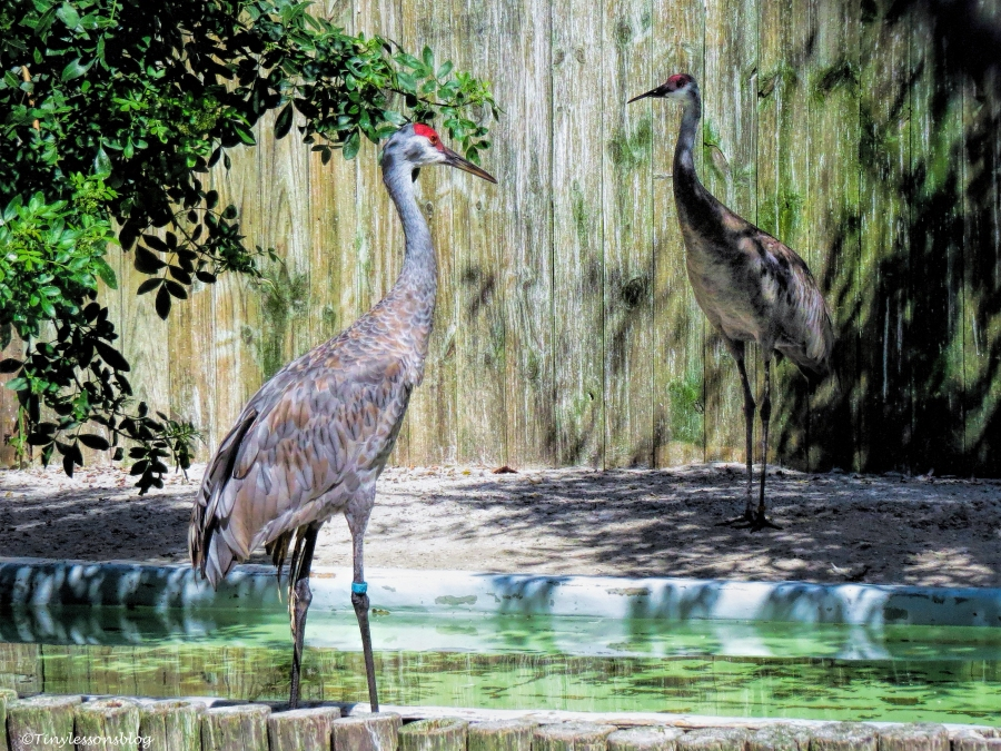 two-sandhill-cranes-ud81