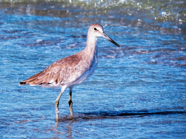 willet-on-the-beach-ud79
