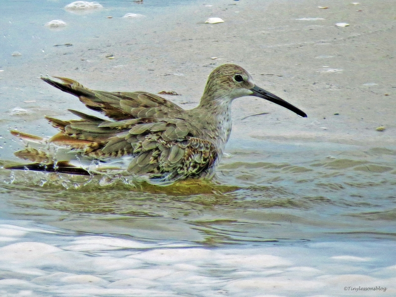 willet-taking-a-bath-ud78