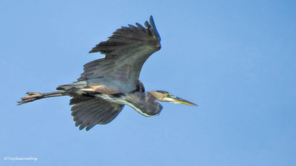 young-blue-heron-in-flight-ud80