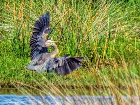 young-blue-heron-lands-ud80