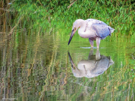 young-blue-heron-ud78
