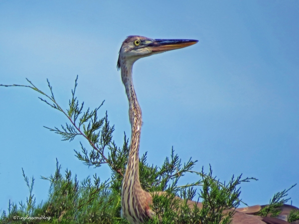 young-blue-heron-ud80