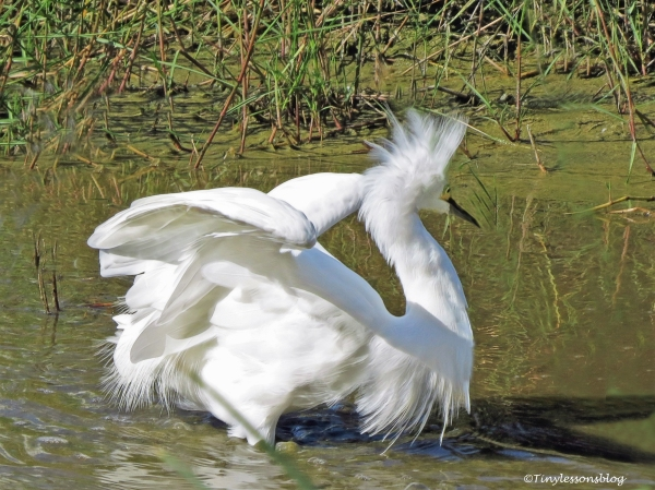 angry-snowy-egret-ud83