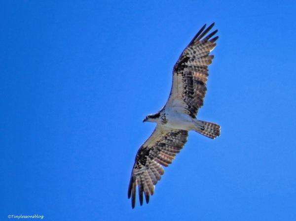 female-osprey-in-flight-ud83
