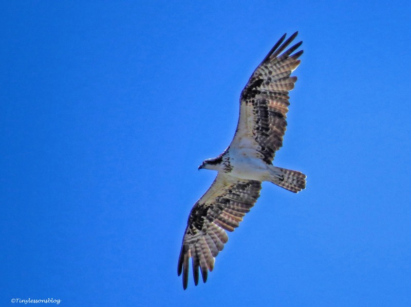 female-osprey-in-flight-ud83