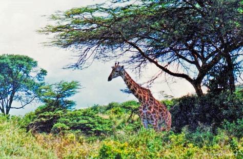 giraffe-2-kenya-nos1
