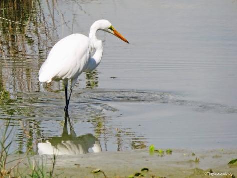 great-egret-2-ud83