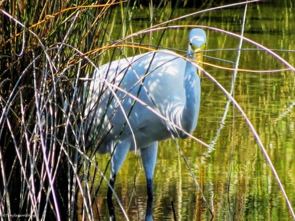 great-egret-ud83