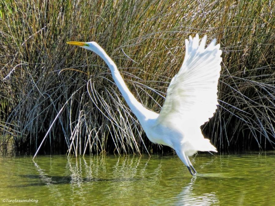 great-egret-ud87