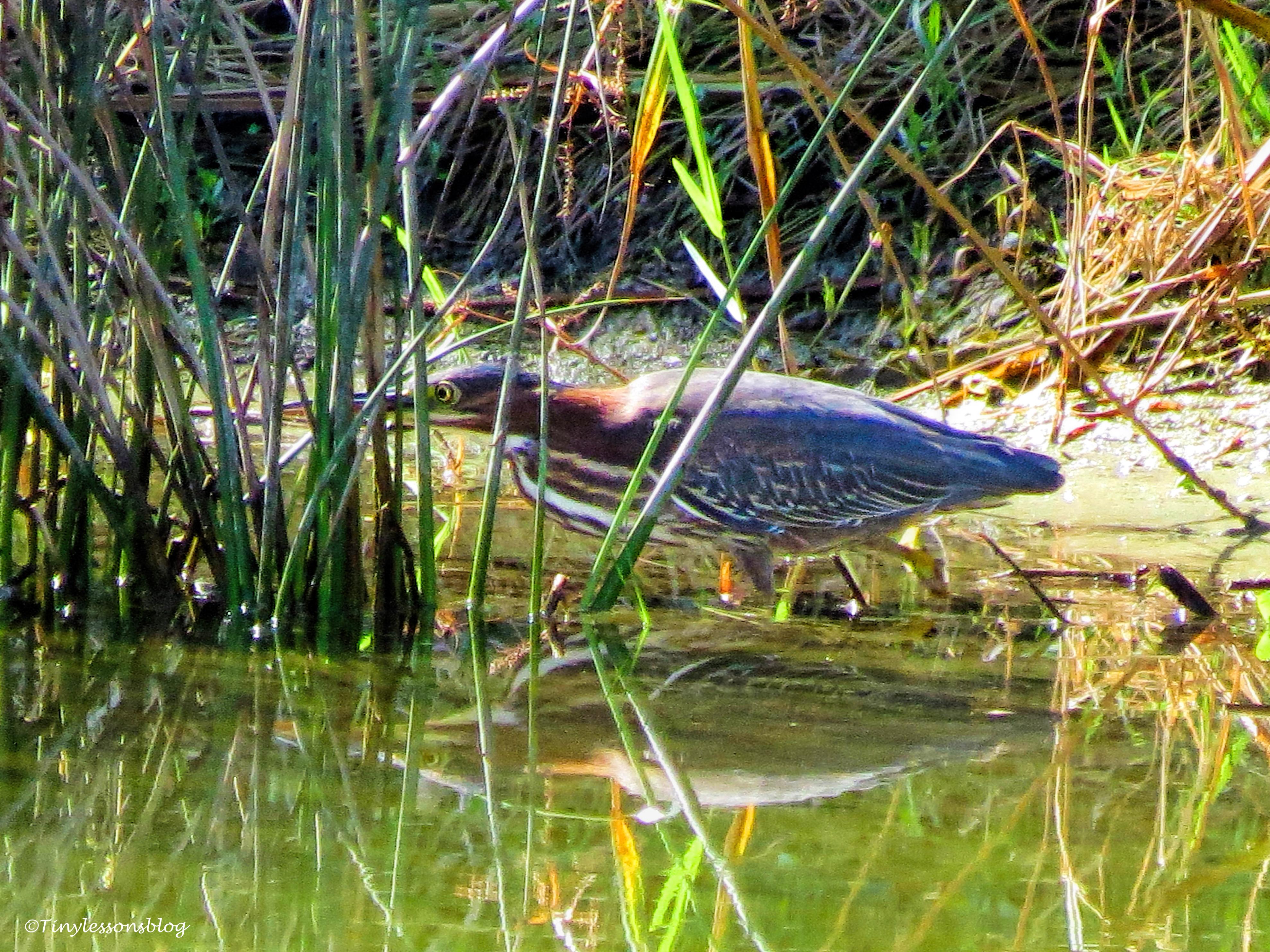 juvenile-green-heron-ud83