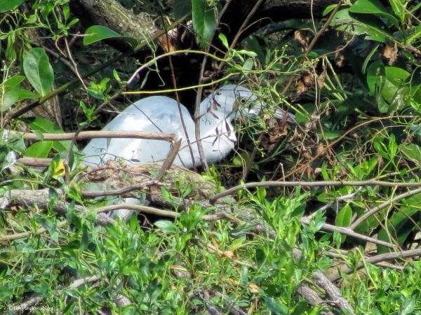 juvenile-little-blue-heron-ud86