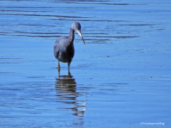 little-blue-heron-in-the-bay-ud87