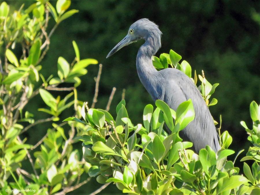 little-blue-heron-ud83
