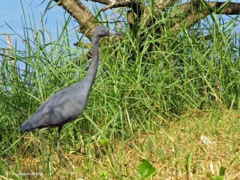 little-blue-heron-ud86