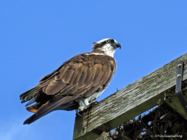 mama-osprey-at-the-old-nest-ud85