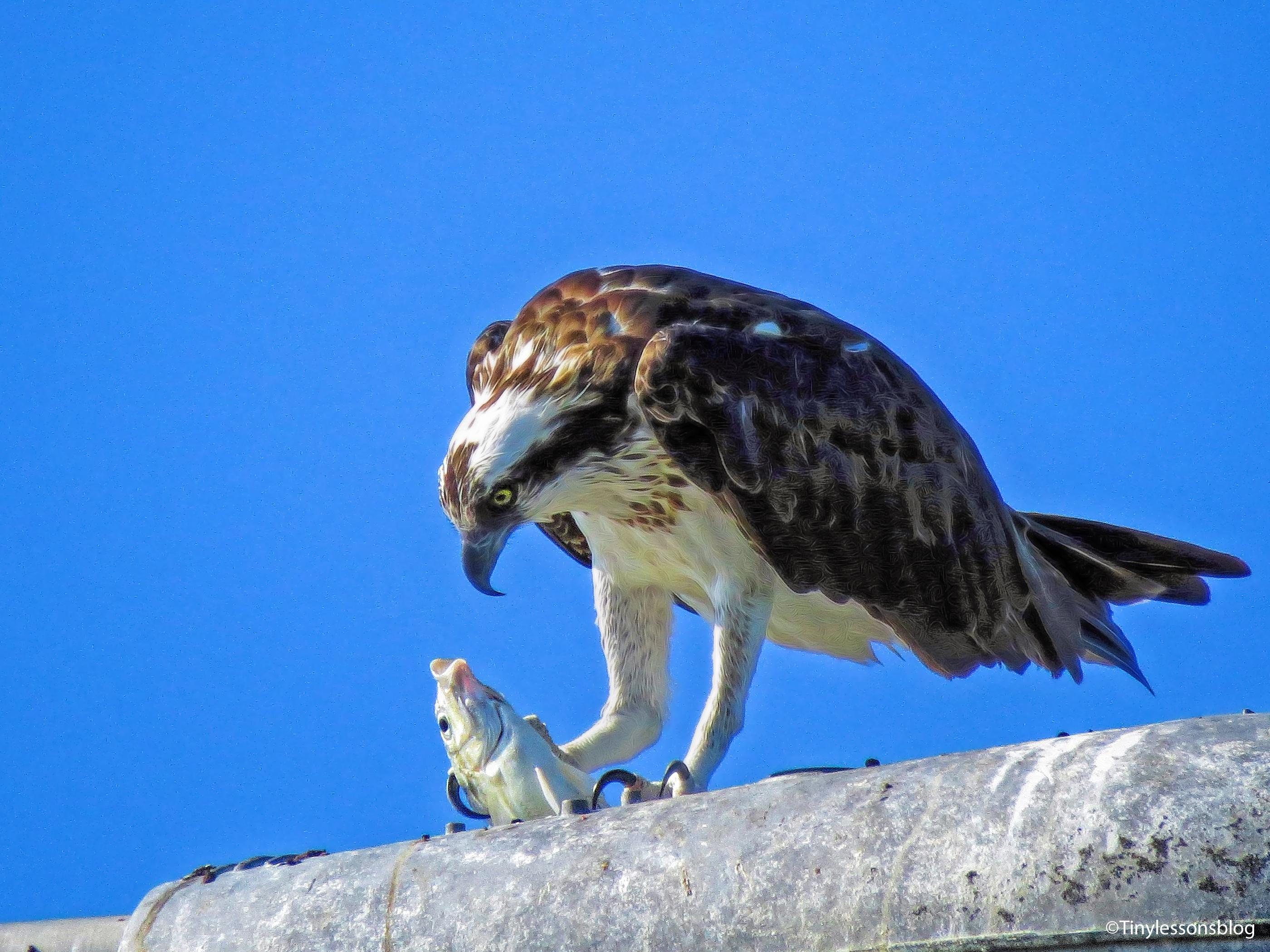 mama-osprey-eating-breakfast-ud83