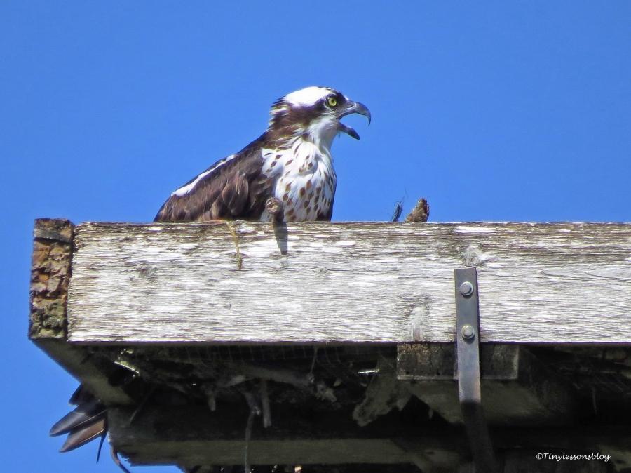 mama-osprey-is-alarmed-ud86
