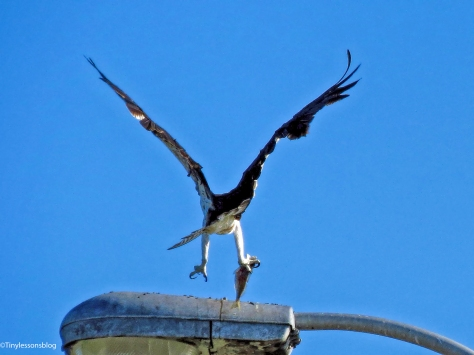 mama-osprey-lands-with-a-fish-ud83