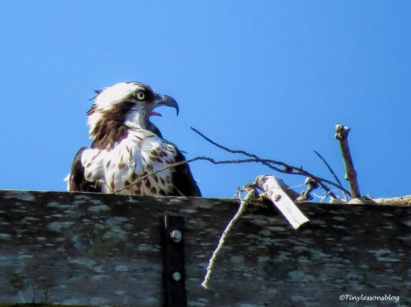 mama-osprey-shouts-alarm-ud86