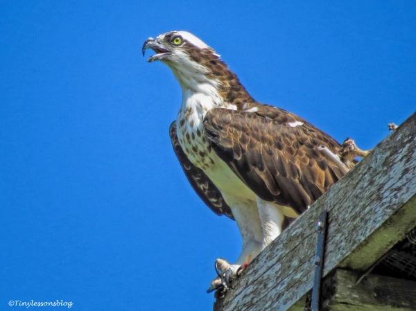 mama-osprey-ud83