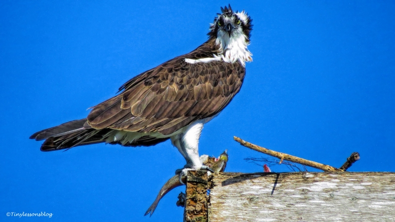 mama-osprey-with-a-fish-ud87