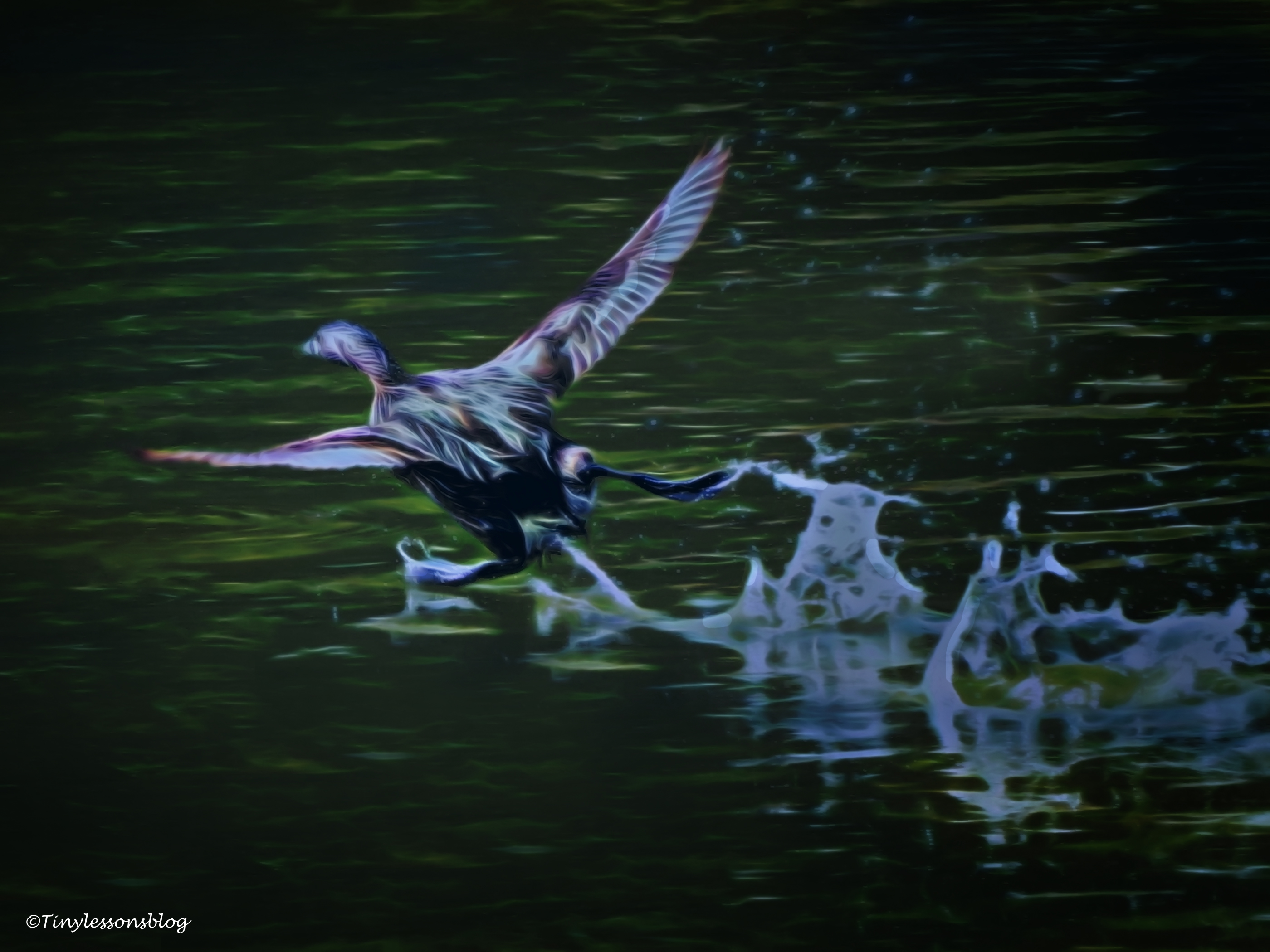 mottled-duck-run-on-water-halloween-ud88