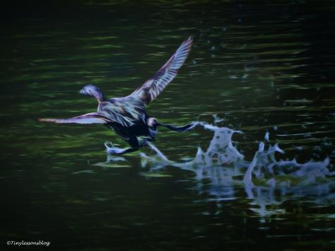 mottled-duck-run-on-water-halloween-ud88