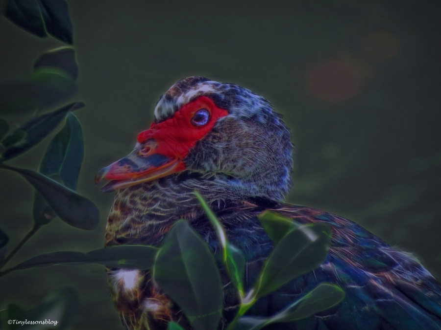 muscovy-duck-halloween-3-ud88