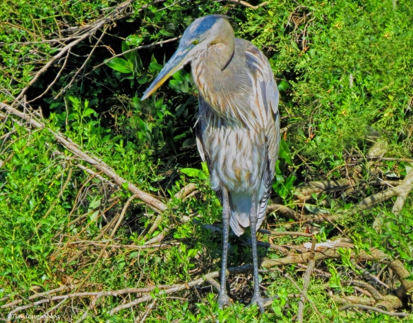 older great blue heron 2 ud87.jpg