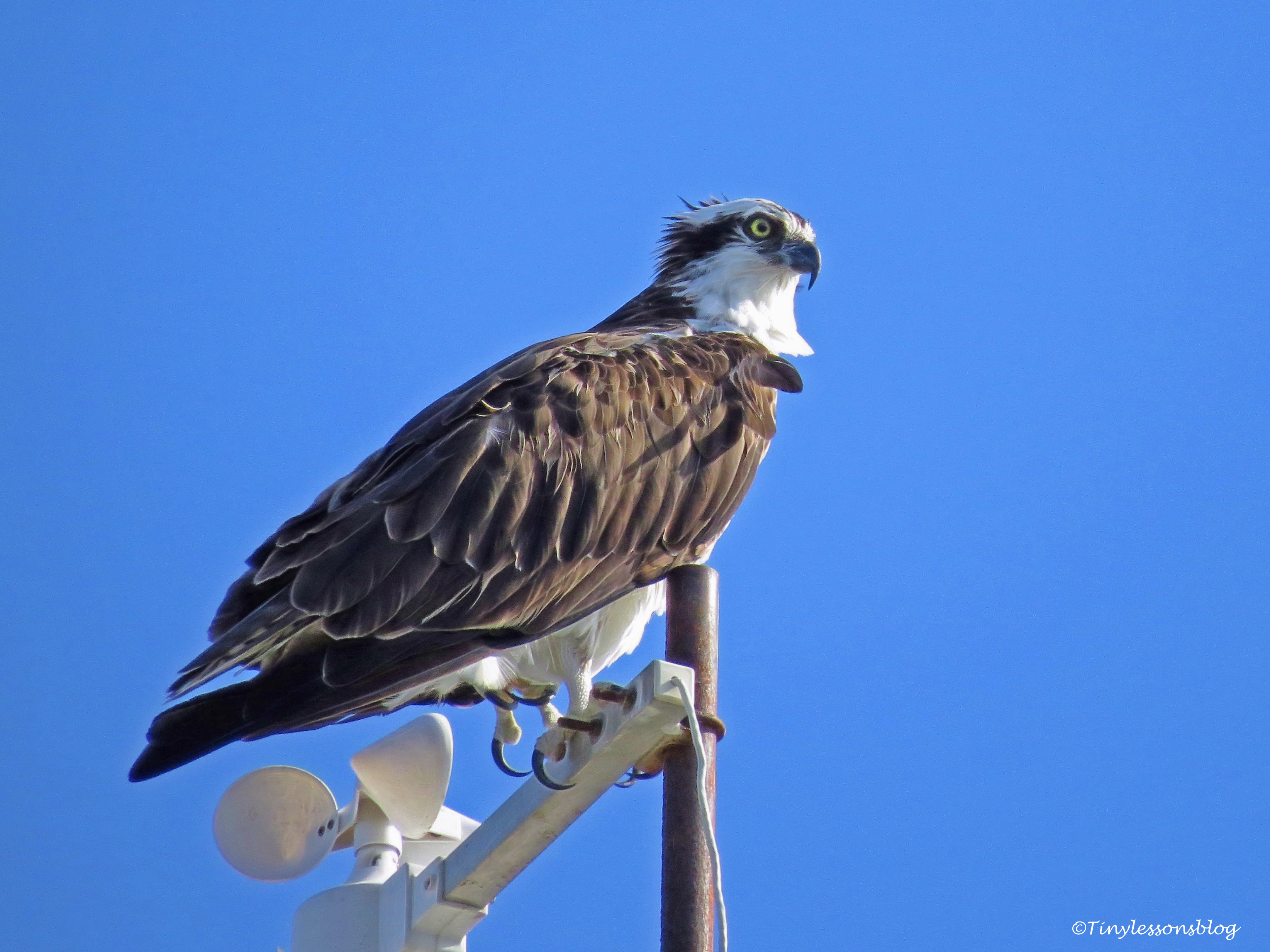 papa-osprey-at-sailing-club-ud83