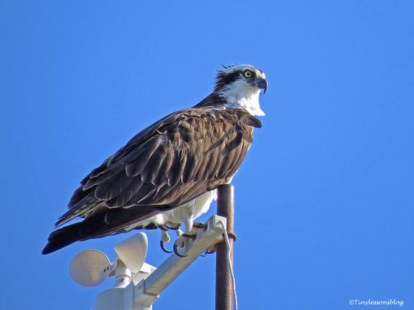 papa-osprey-at-sailing-club-ud83