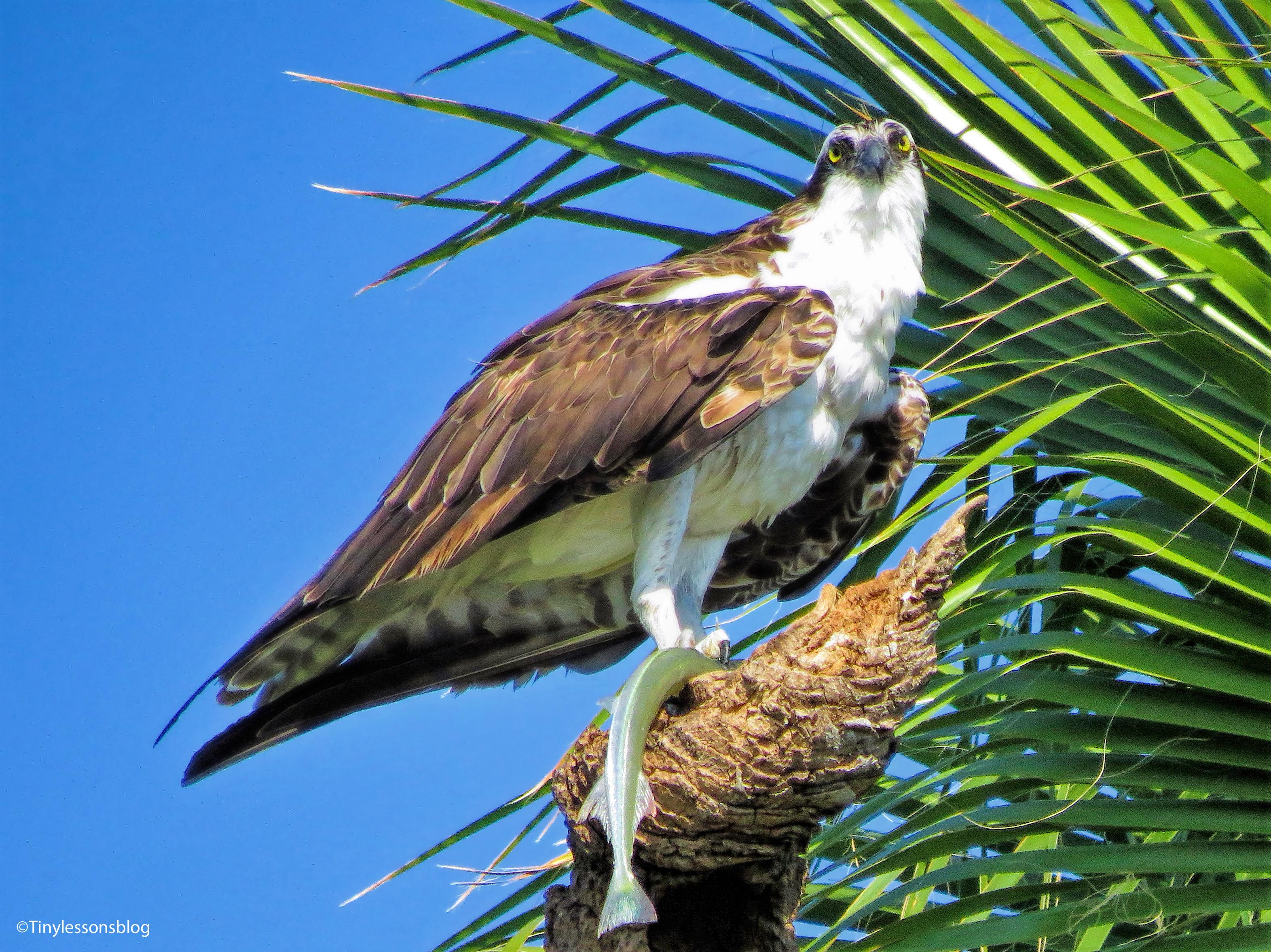 papa-osprey-eats-beakfast-ud83