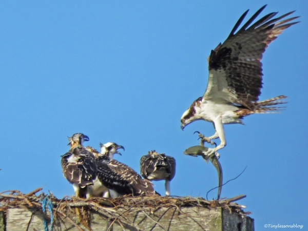 papa-ospreys-fish-delivery-ud85
