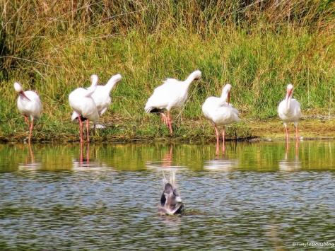reddish-egret-does-a-diving-number-ud85