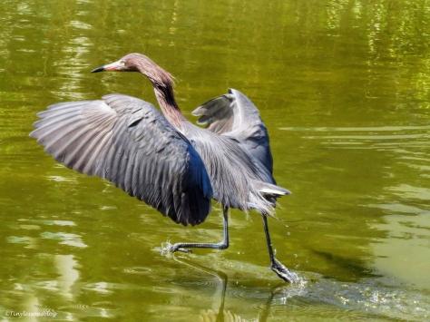 reddish-egret-hunting-again-ud85