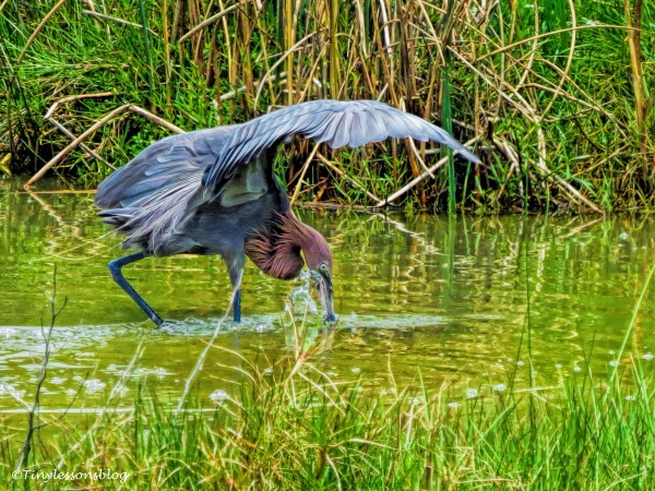 reddish-egret-hunting-ud87