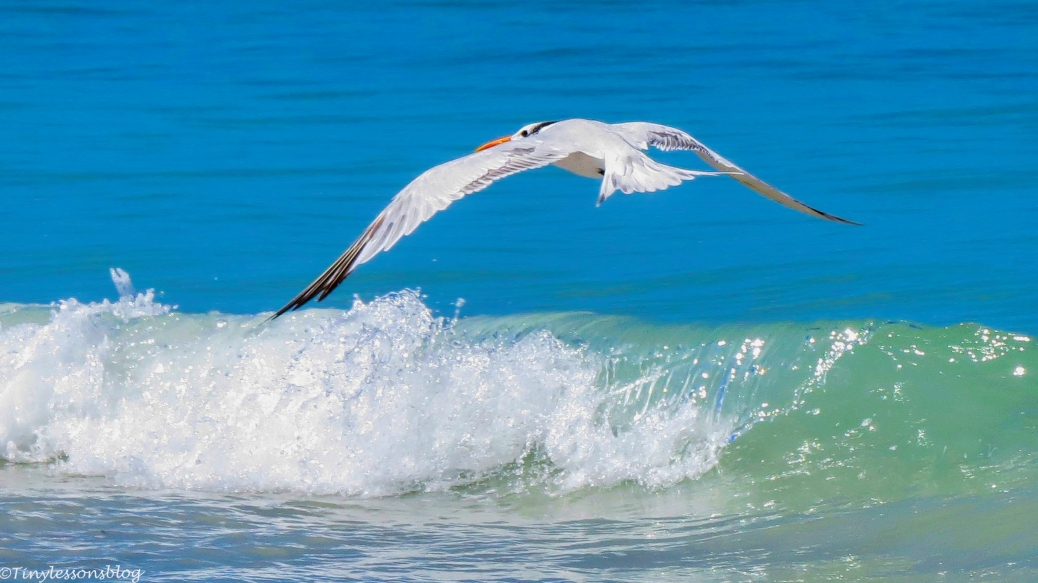 royal-tern-flying-in-motion-16x9-ud86