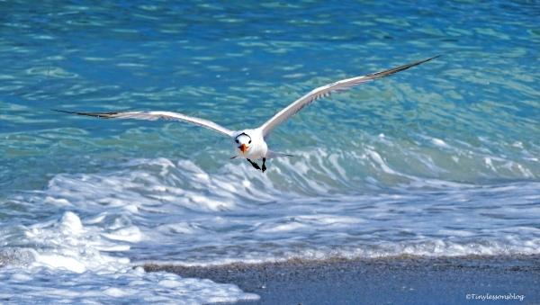 royal-tern-in-flight-ud83