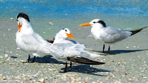 royal-terns-ud83
