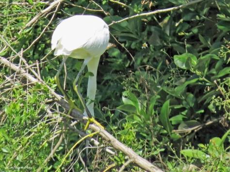 snowy-egret-bending-down-ud86