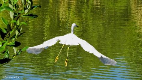 snowy-egret-flying-2-ud86