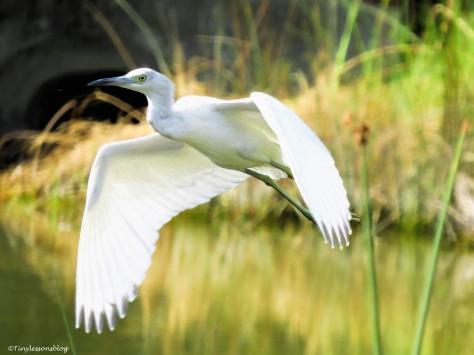 snowy-egret-flying-ud85