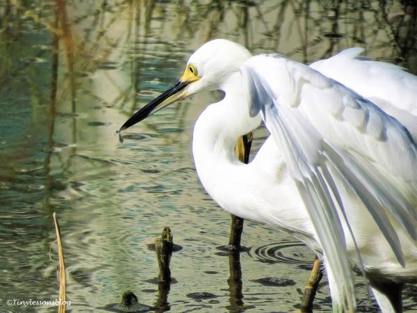 snowy-egret-hunting-ud86