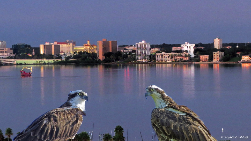 the-blue-hour-on-the-bay-with-ospreys-ud85