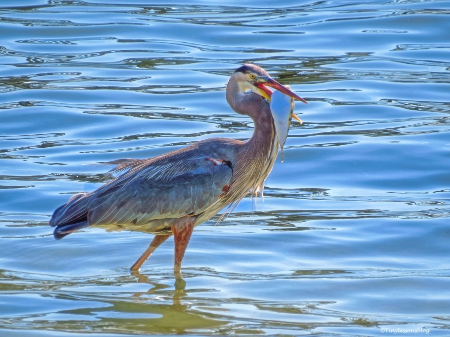 the-older-great-blue-heron-fishing-2-ud85