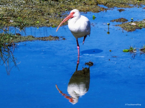 white-ibis-ud86