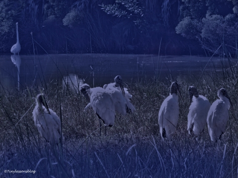wood-storks-and-great-egrets-halloween-2-ud88