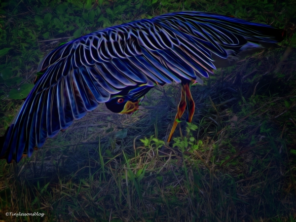 yellowcrowned-night-heron-playing-halloween-3-ud88