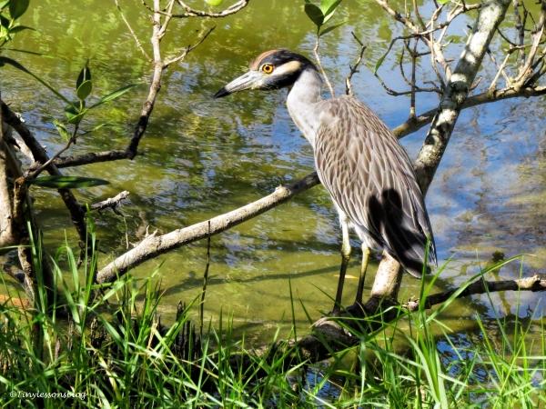 yellowcrowned-night-heron-ud86